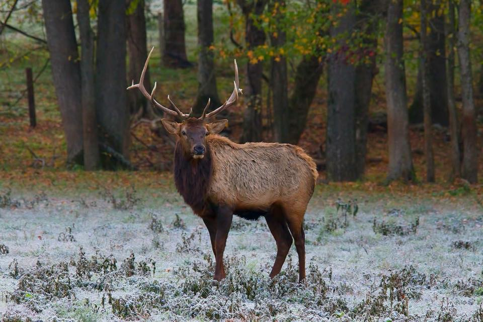Bull Elk in Boxley Valley