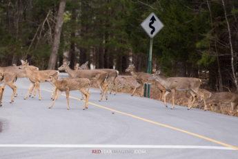 Whitetail Deer Crossing the Road