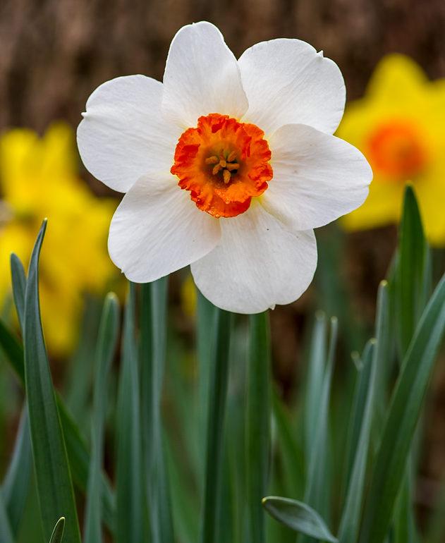 Spring Daffodils in the Ozarks